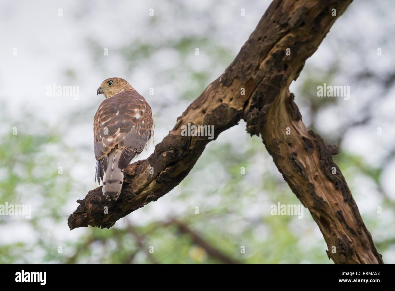 Shikra (Accipiter badius) perched on branch. Keoladeo National Park. Bharatpur. Rajasthan. India. - Stock Image