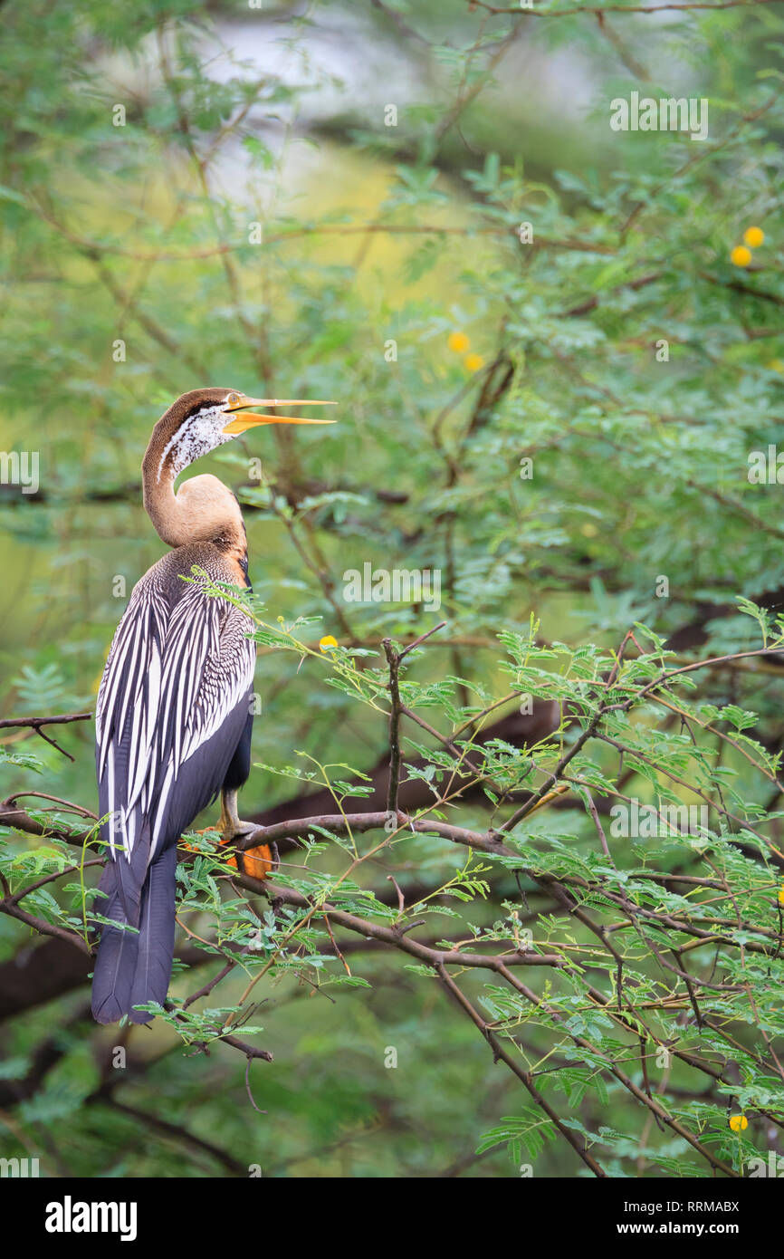 Oriental Darter (Anhinga melanogaster) perched on tree. Keoladeo National Park. Bharatpur. Rajasthan. India. - Stock Image