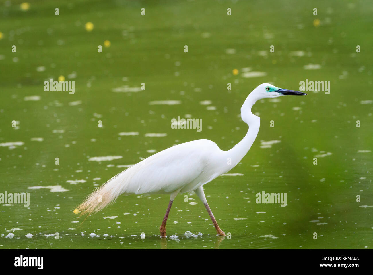 Great White Egret (Ardea alba) looking for food. Keoladeo National Park. Bharatpur. Rajasthan. India. - Stock Image