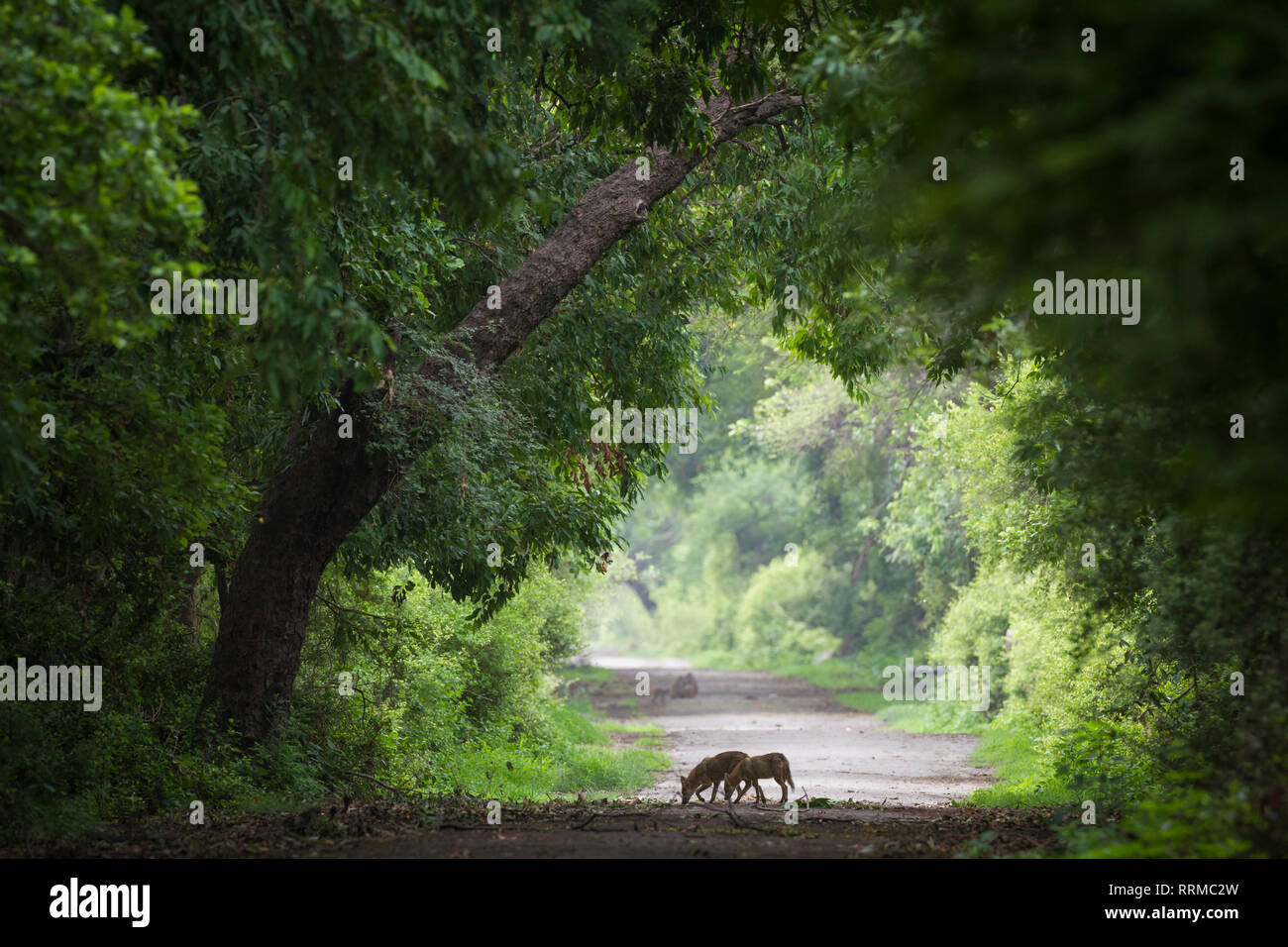 Indian Jackal (Canis aureus indicus), two in search of food on a forest track. Keoladeo National Park. Bharatpur. Rajasthan. India. - Stock Image