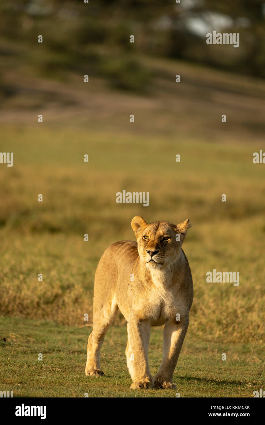 African lioness (Panthera leo) standing and staring in the Lake Ndutu area of the Serengeti in Tanzania - Stock Image