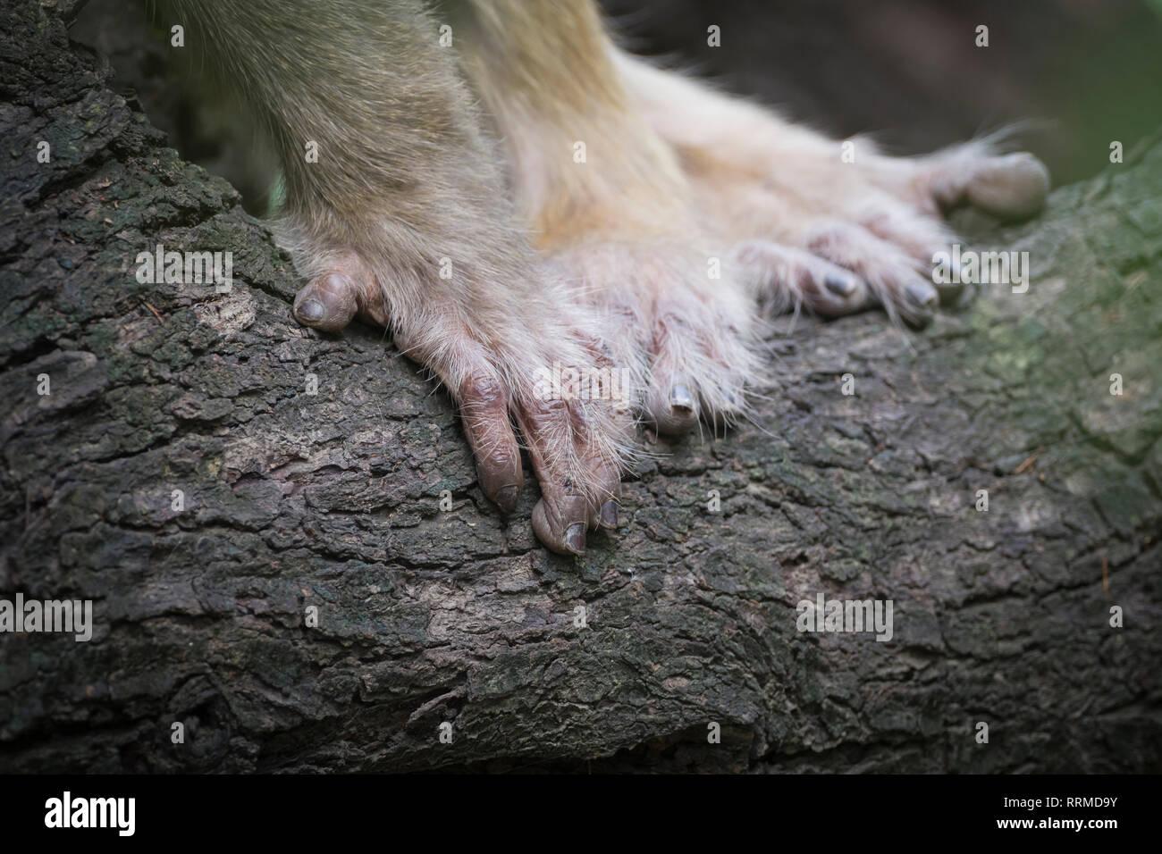Hands of Rhesus Monkey (Macaca mulatta). Keoladeo National Park. Bharatpur. Rajasthan. India. Stock Photo