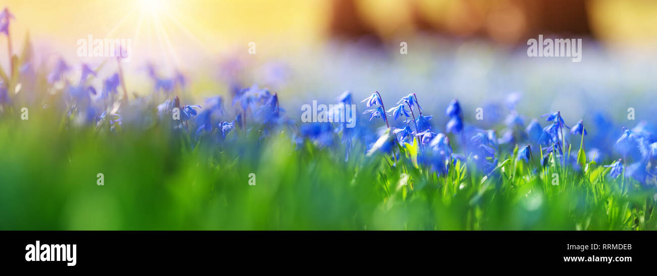 Scilla flowers in the park - Stock Image