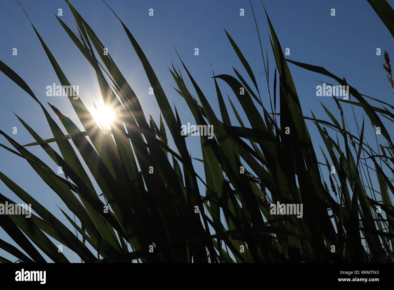 The sun shines through the silhouettes of large cane leaves. Summer background texture. - Stock Image
