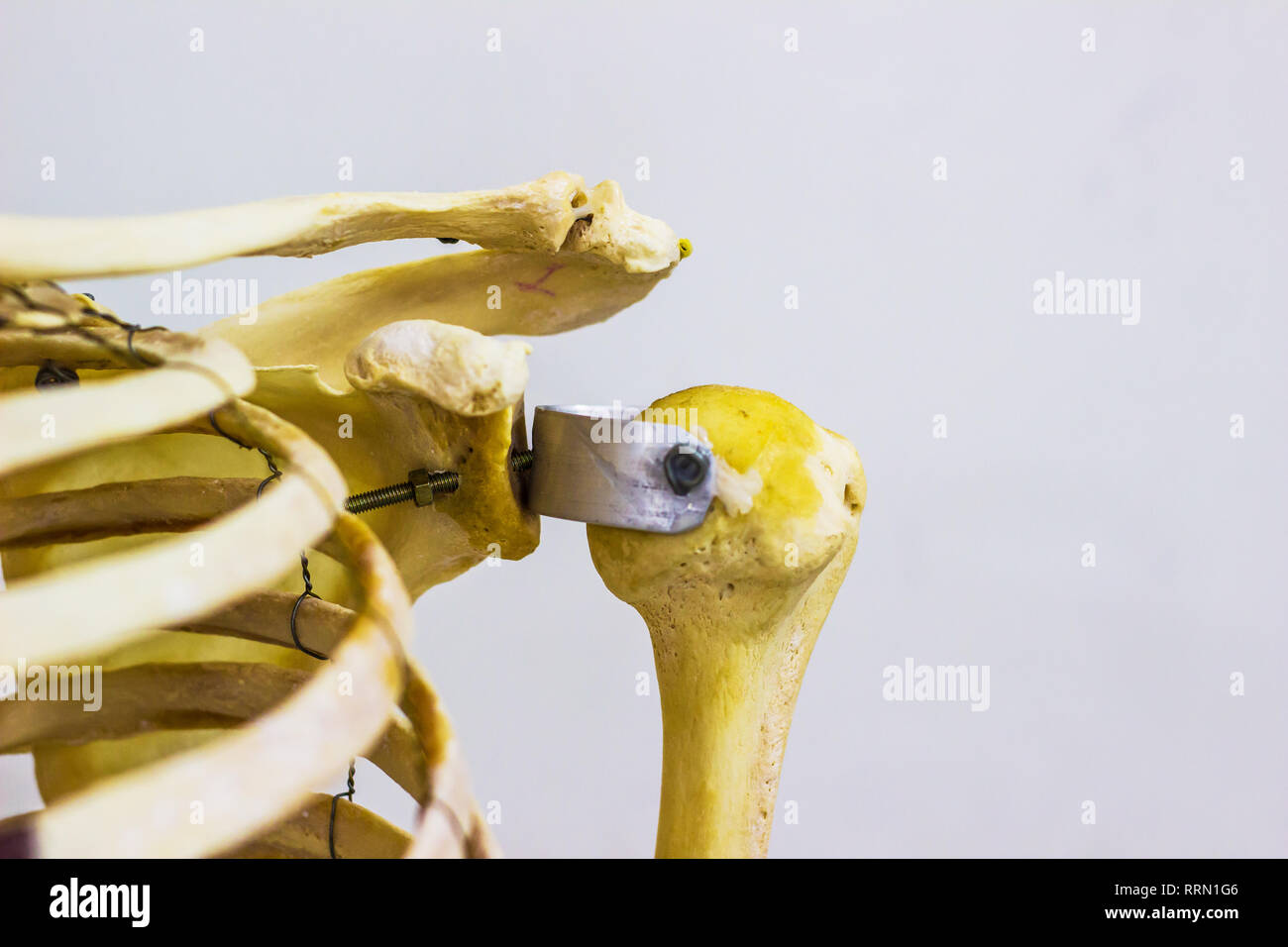 articulated humerus clavicle and scapula bones showing human left shoulder joint anatomy in white background - Stock Image