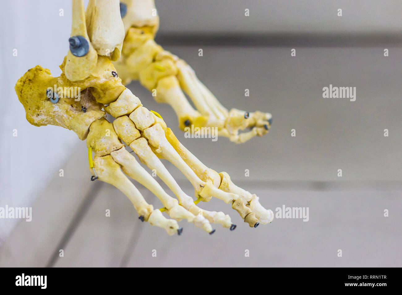 articulated tarsal metatarsal and phalanges bones showing human foot anatomy in white background - Stock Image