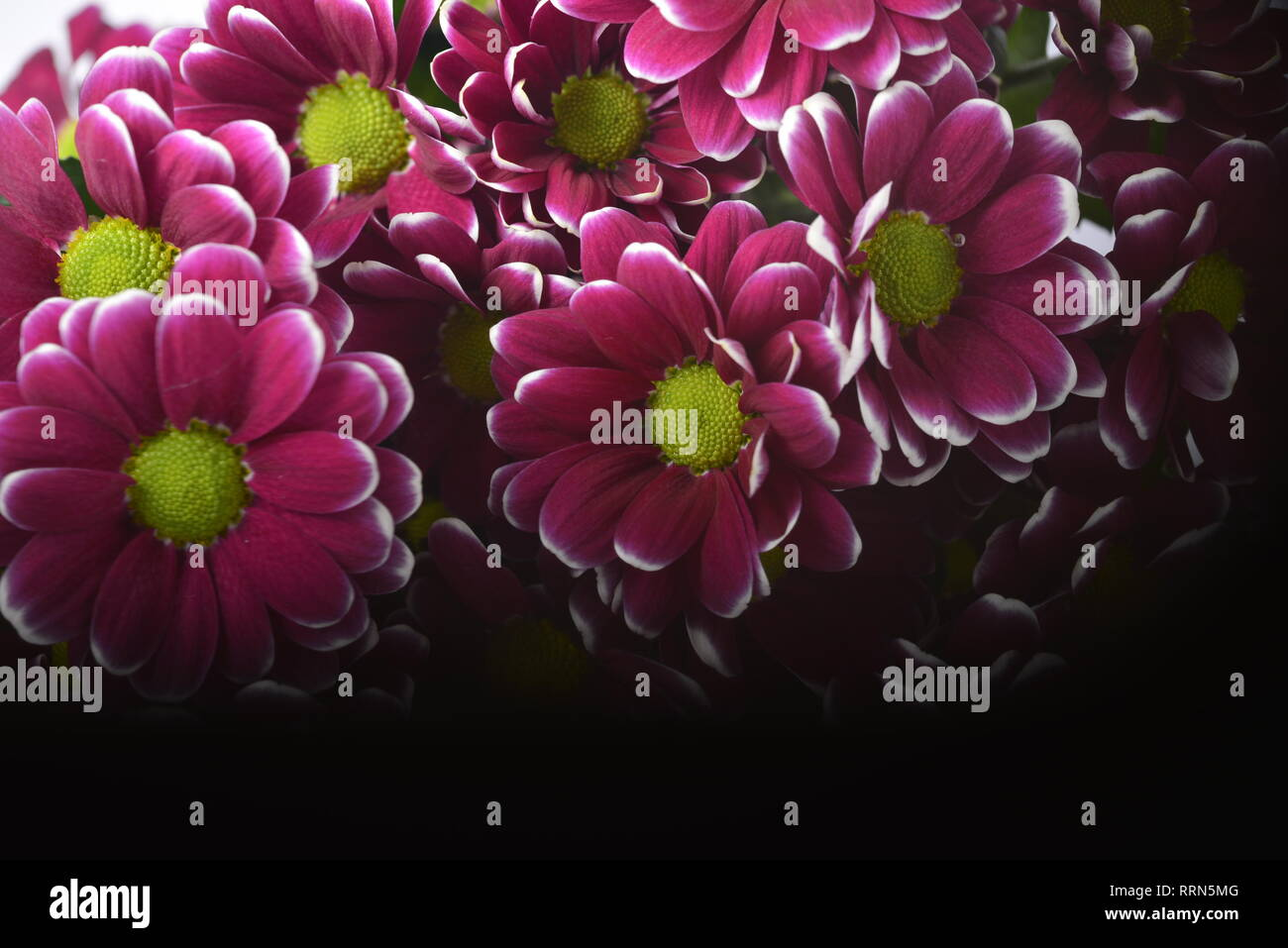 Flowers violet and white in makro - Stock Image