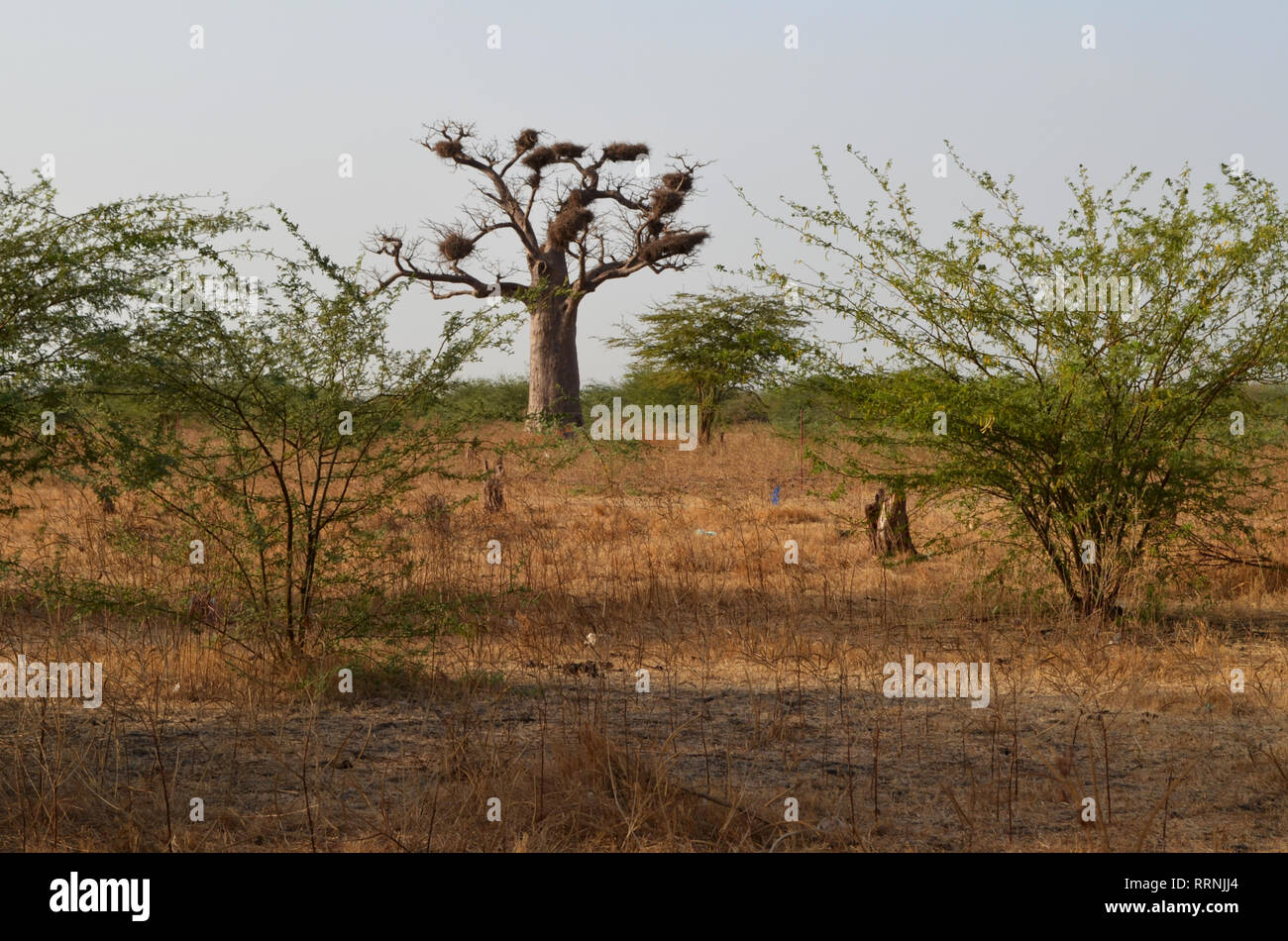 Baobab with stork nests in the dry savanna of the Sahel region (Senegal, Western Africa) - Stock Image