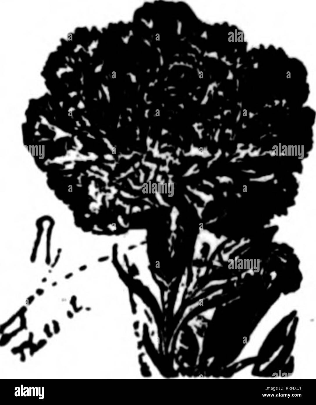 . Florists' review [microform]. Floriculture. In ever increasing demand. t aOlk« OH'* lk»»« tt«S^ Our Vine, Plant and Vegetable Manare, also Special Chrysanthemum Manare, are ever increasing: in public favor— they embody the practical experience of many years In all branches of Horticulture, pro- ducing vigorous, healthy and fruitful growth. Sold by LEADING AMERICAN SREDSMEN; freight paid on Quantities; liberal terms ' to retailers; write for our Special Offer to the American trade, etc., to sole makers, WM. THOMSON & SONS, Ltd., Clovenfords, Scotland r ^ie. xJfn^ecff'ct'tte JAaf THE iECO - Stock Image