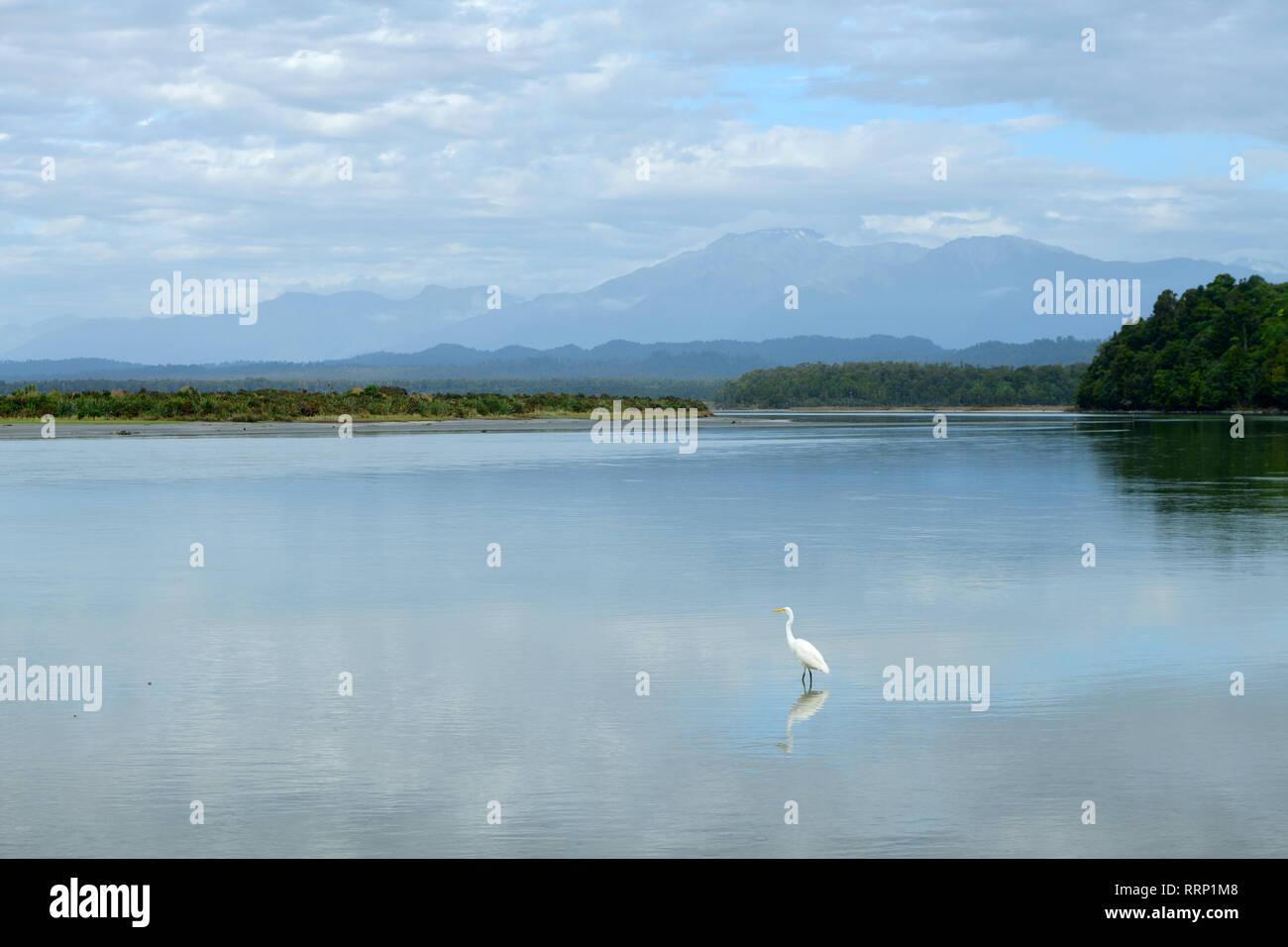 Oceania, New Zealand, Aotearoa, South Island, West Coast, Okarito Lagune, Egret - Stock Image