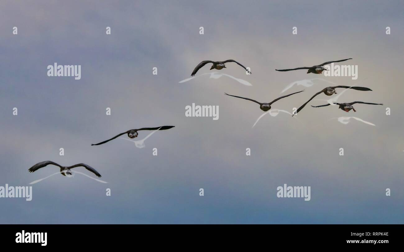 seven geese flying showing their way to destination. flight protocol - Stock Image