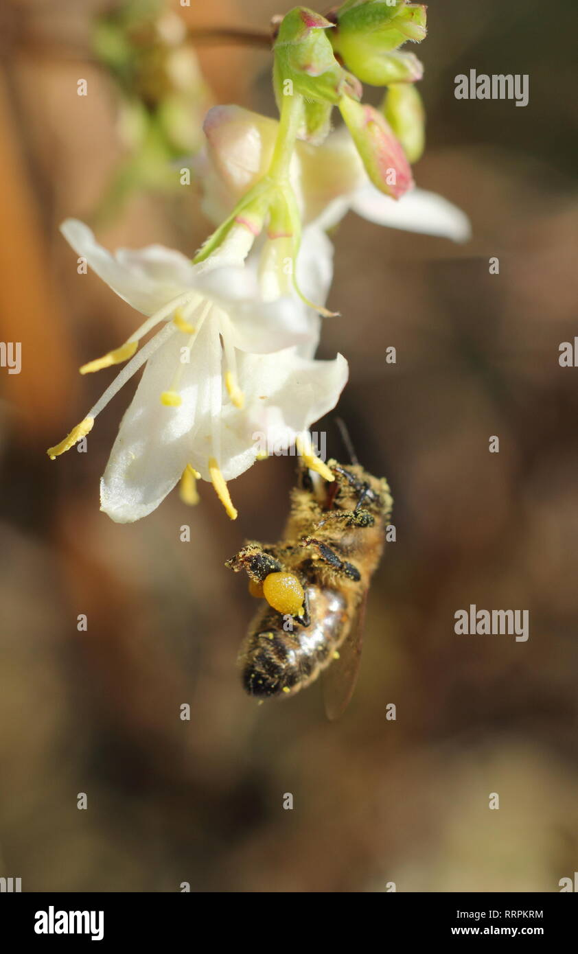 Apis mellifera on Lonicera fragrantissima. Honey bee on Winter honeysuckle in an English garden in winter - February, UK - Stock Image