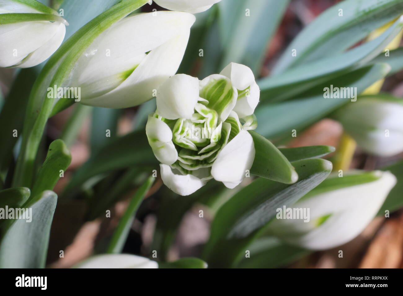 Galanthus 'Hill Poe'. Winter flower of Snowdrop Hill Poe, noted for its tightly packed inner rosette, emerge in an English garden - February, UK - Stock Image
