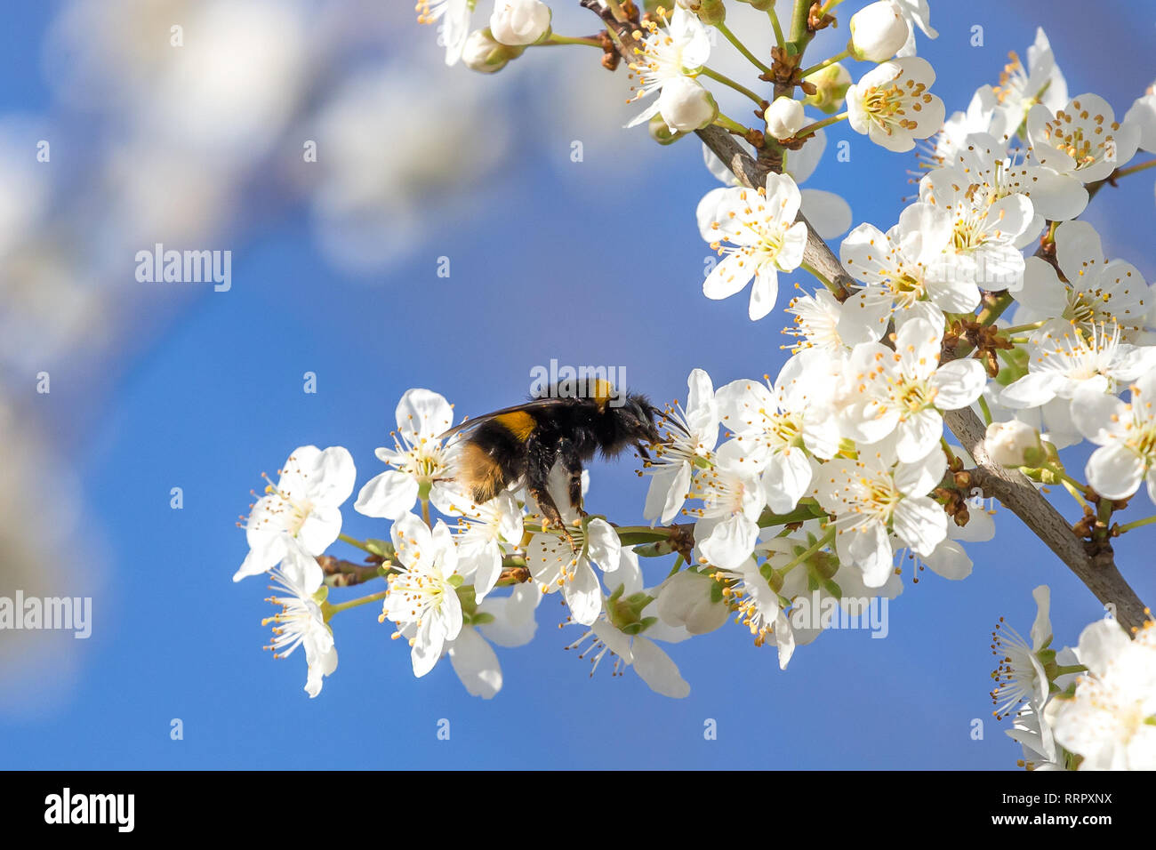 Kidderminster, UK. 26th February, 2019. UK weather: after yesterday's record-breaking February heatwave, the unseasonably warm weather continues today. With spring-like conditions in much of the UK today, there is confusion amongst the British wildlife as many of our bumblebees are out in force  basking in the glorious sunshine as they gather nectar from early blossom. Credit: Lee Hudson/Alamy Live News - Stock Image