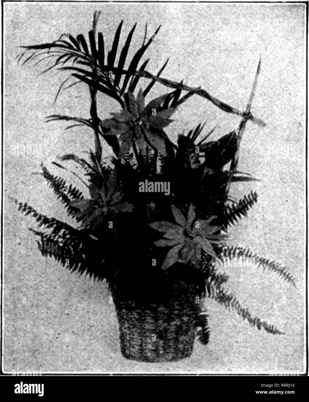 . Florists' review [microform]. Floriculture. roiNsmiA PANS. 4-inch pots 25 cents each 5-inch, with 3 flowers 50 cents each 6-inch, with 3 and 4 flowers 75 cents each 7-inch, with 4 and 5 flowers $1.00 each 8'inch, with 4 and 5 flowers 1.26 each. Please note that these images are extracted from scanned page images that may have been digitally enhanced for readability - coloration and appearance of these illustrations may not perfectly resemble the original work.. Chicago : Florists' Pub. Co - Stock Image