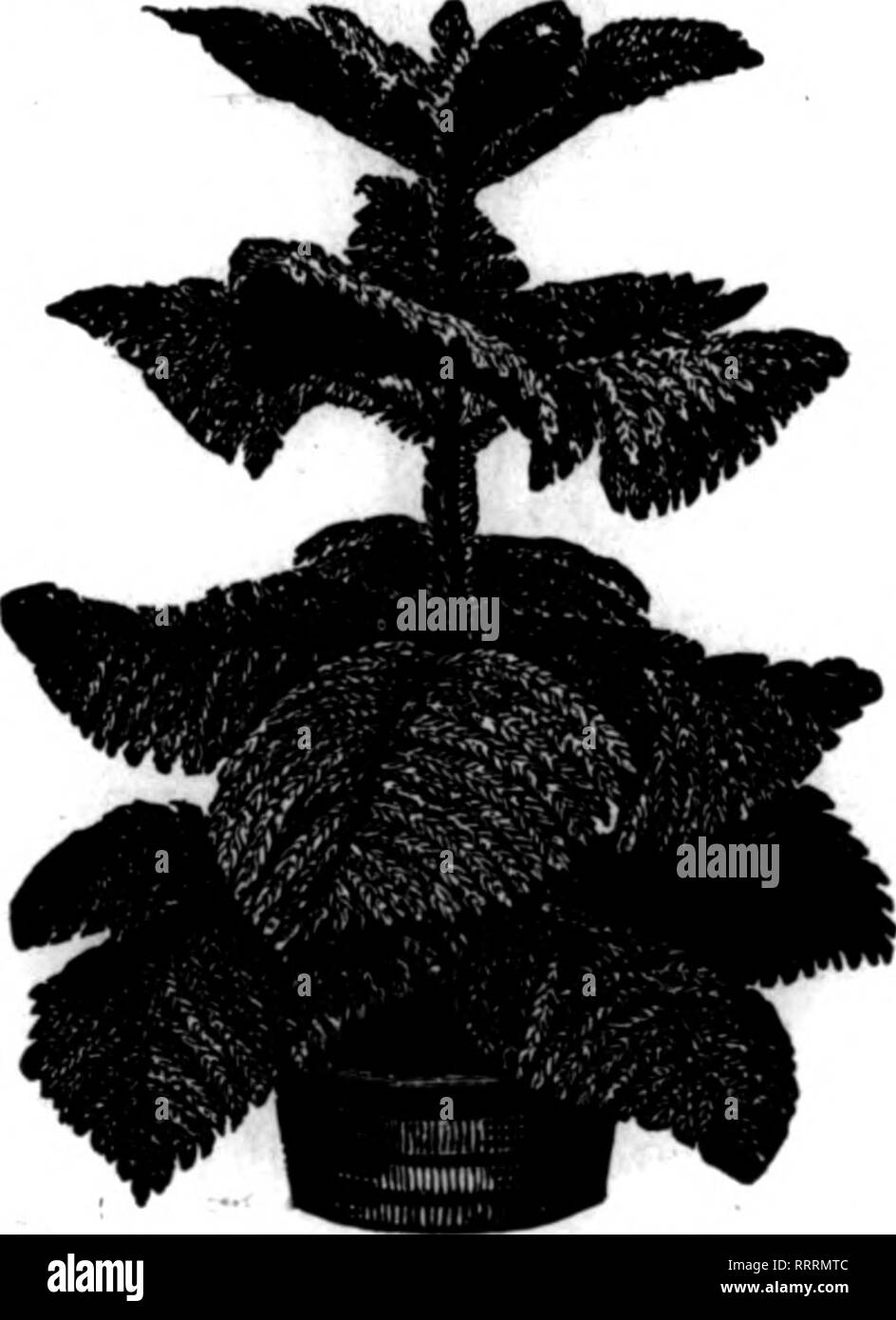 """. Florists' review [microform]. Floriculture. TABLE FERNS We offer ? large stock of extra fine t«1>Ic fans. There will be a Dig demand for theM durliyr tli« first ruth of fall business. fS.OO per 100, flB.tt per 1000. 600 at 1000 rate. l^SS'^'' PALMS Kentia Belmoreana ^Height No. Leaves 12 to 15 in. 28 to 80 In. 6-7 34 to 86 In. « ' 36 to 46 in. M to 60 In Eacb 10.85 i 1.60 3.60 to 4.00 7.00 %^^PD. tubs. 6^-6% 8-9 $1.00 1.50 2.60 3.60 5.00 6.00 '10.00 12.00 plants, f»4« Ui, rscens ?"""">*bel,.; Veit,,: UtlUs , Utlli:. Kentia Belmoreana in Tubs Height No. of Plants Each - to 24 in. 3 to - Stock Image"""