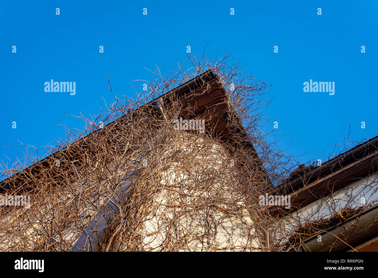 Deciduous creeper with bare leafless vines on a house exterior in winter in a concept of the seasons - Stock Image