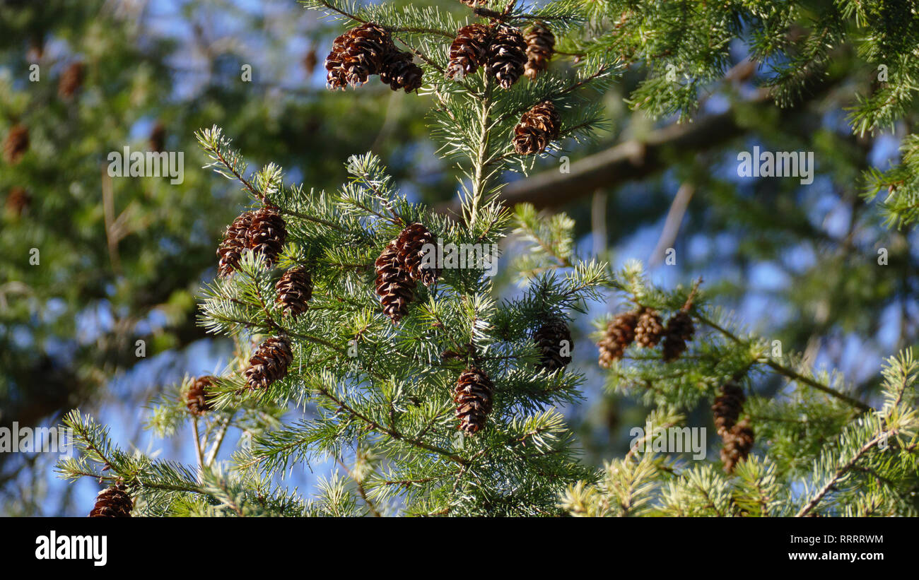 Douglasie, Nadelbaum mit braunen Zapfen und immergrünen Nadeln, im Frühjahr - Stock Image