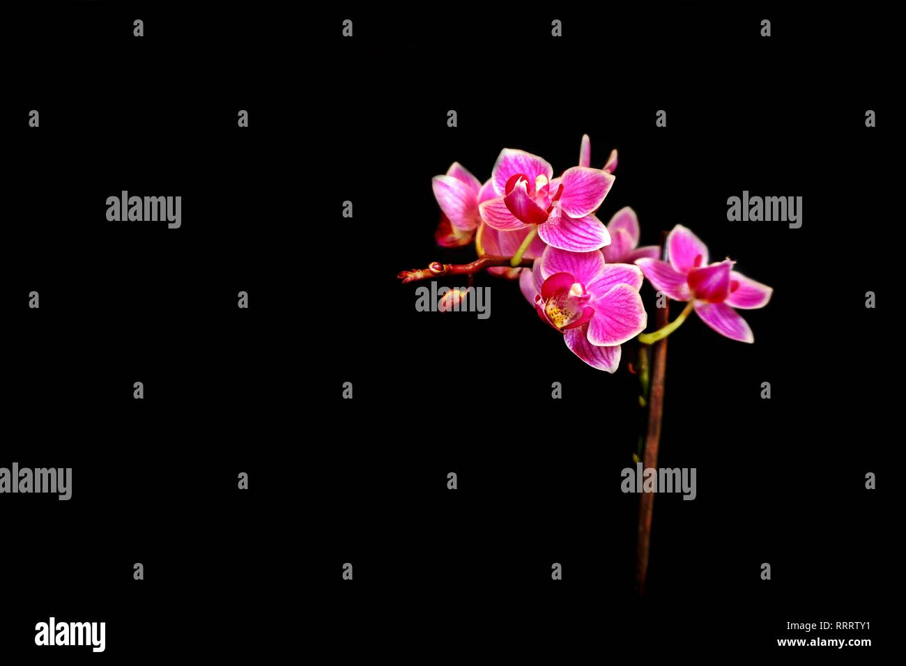 colored orchid against black background - Stock Image