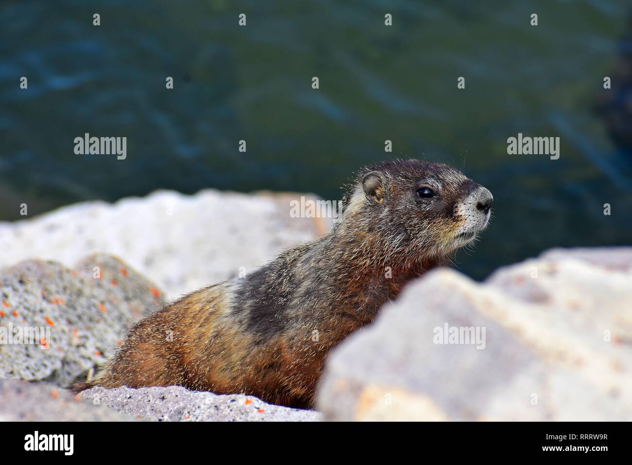 Martin the Marmot - Stock Image