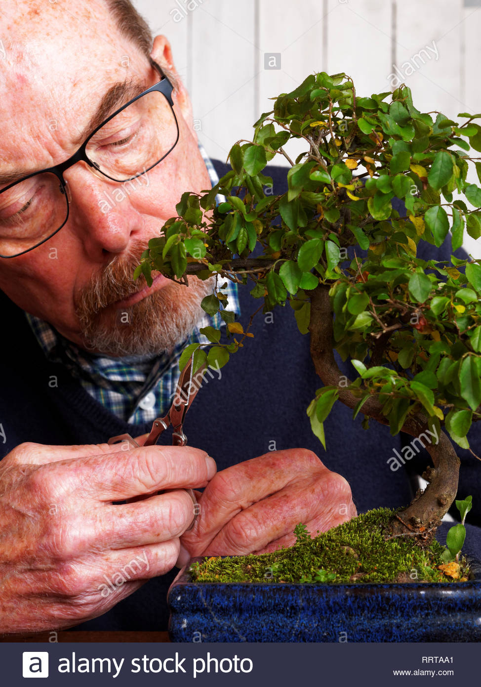 Man With Glasses Pruning Caring Sageretia Theezans Bonsai Stock Photo Alamy