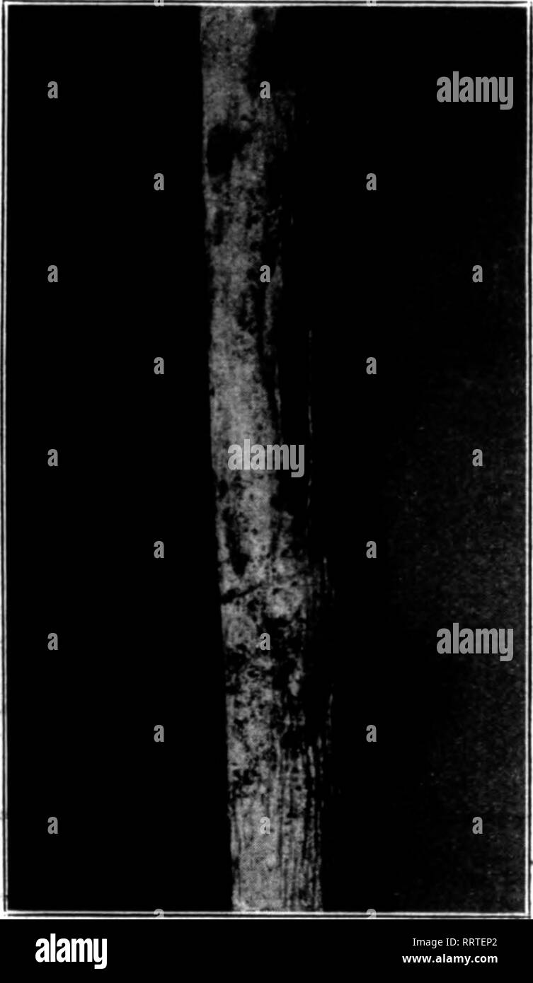 . Florists' review [microform]. Floriculture. FJg. I.-Rost Ptistules on Antli*hlnom. Fig. 2.—Badly Infected Antirrhinum. tion just mentioned in Ohio and the other in the western part of central Indiana. From all that could be learned, the rust in Indiana and Ohio was noticed on the antirrhinum for the first time during the latter part of last August. One grower in the northern part of Indiana has recently reported the loss of 6,000 cuttings. The loss, however, occurred three years ago. It has also been recently reported that a rust quite similar to, if not the same as, Puccinia antirrhini has  - Stock Image