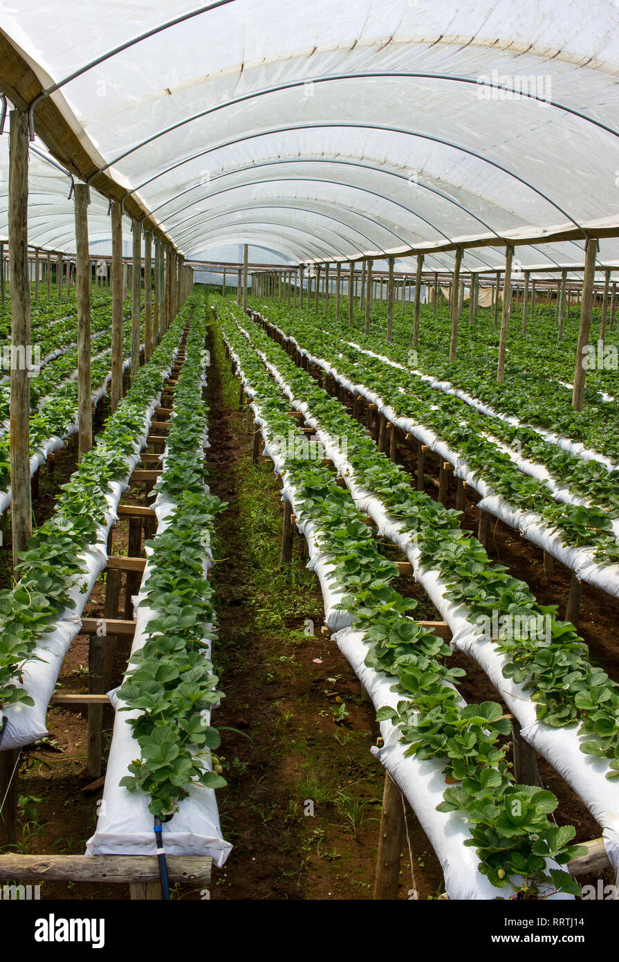 Raised Beds Strawberry Farm Inside Green House Stock Photo