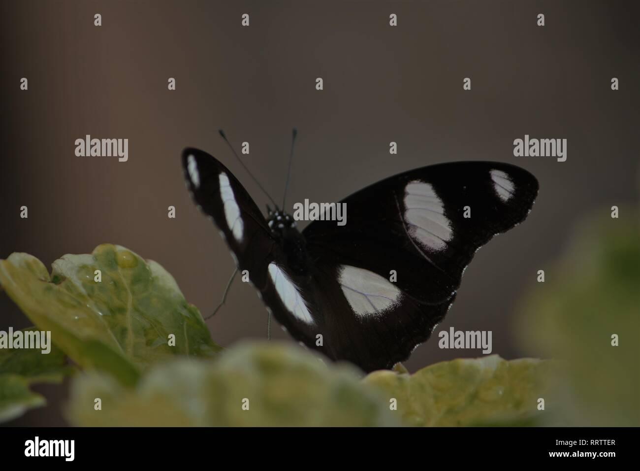 Diadem (Hypolimnas misippus) in a Hotel Garden at Diani Beach, Keniaa - Stock Image