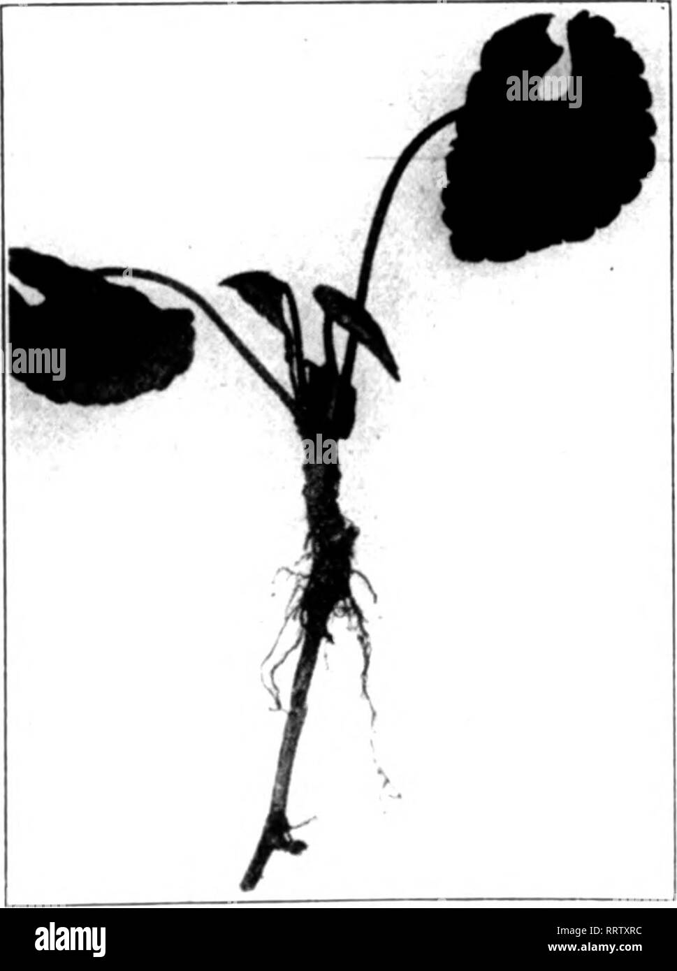 . Florists' review [microform]. Floriculture. DISEASES OF THE VIOLET^. [Extracts from a paper by Dr. Donald Red- (llck, of Ithaca, N. Y., read before the Massa- chusetts Horticultural Society. Continued from The Review of September 11.] Symptoms of Root Rot. Plants attacked by the thielavia dis- ease in its various stages are readily detected. A great many growers, how- ever, do not realize that the various symptoms which I shall now present to you are symptoms of one and the same disease. Indeed, one often has consid- erable difficulty in convincing growers that this is true. The most strikin - Stock Image