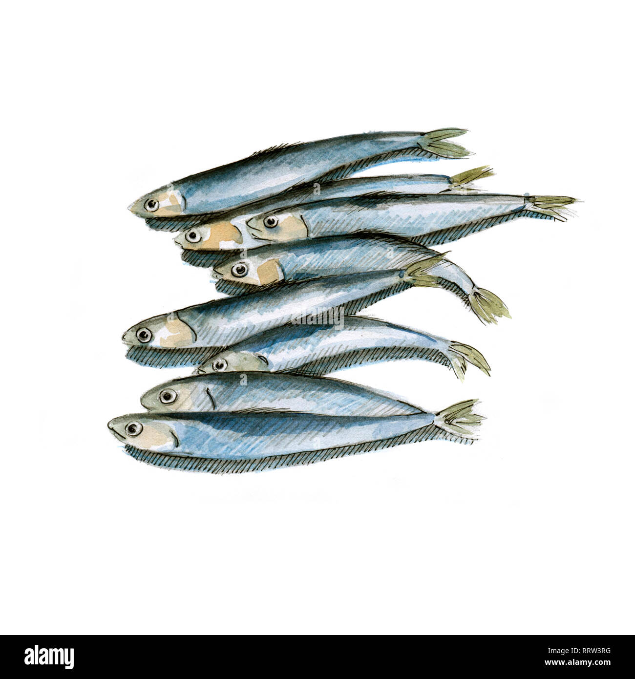 Anchovy watercolor illustration on white background - Stock Image