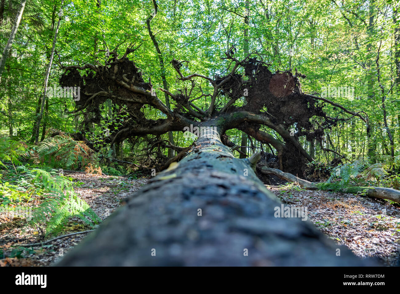 Nature and landscape concept: Closeup from the trunk of a tree, uprooted with roots. - Stock Image