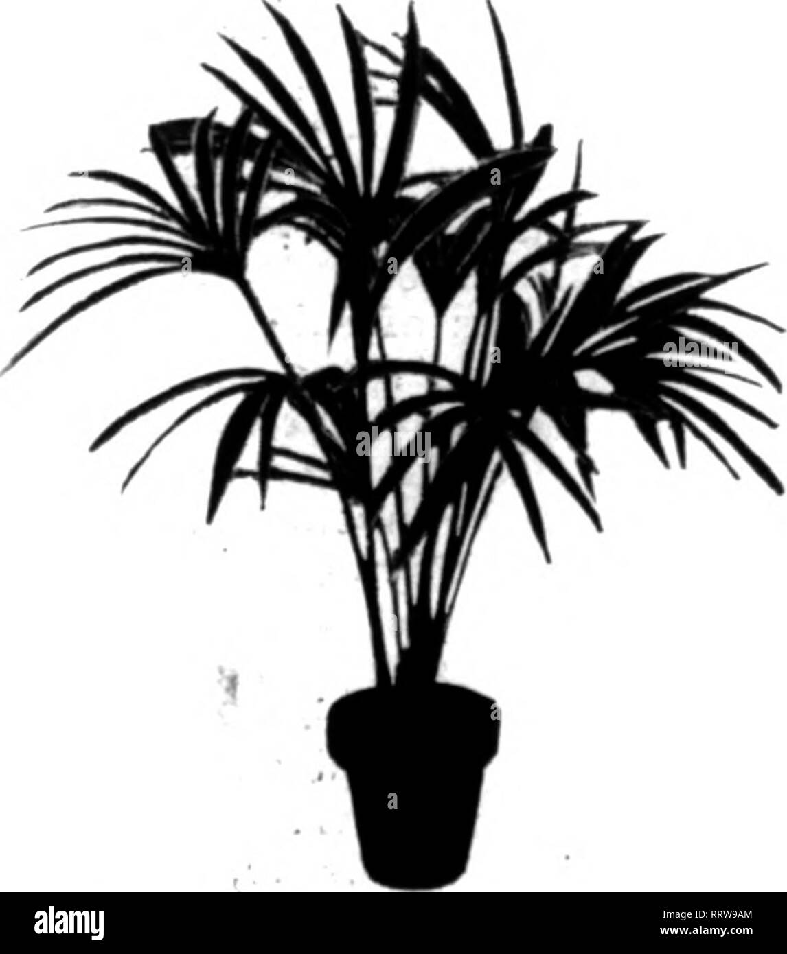 . Florists' review [microform]. Floriculture. KENTIA FORSTKIIIANA .eaves Height Doz. 100 4 Sin. $1.6C 1 SI2.U0 4-5 8-10 in. 2.00 15.00 4-6 14-16 in. 4.60 5-6 16-18 in. Each, .60 ixtra strong Each, .75 5-6 18-24 in. Each, 1.00 5-6 28-32 in. Each, 1.50 6-7 36-40 in. Each, $2.25- 2.60 6-7 44-48 in. Each, 4.00 6-7 60-64 in. Each, 8..TO 6-7 64-68 in. Each, 9.00 6-7 72 in. Each, 1100 7-8 80-84 in. Each, 1200 7-8 84-88 in. Eich. ]5;oo iNA ,^ ^m ^ fcfv 18.(K) >RSTERIANA'S ALL SIZES'FR£a>C;8 FT. ARE STANDARD ^ PLEASED CUSTOMERS REPEAT ORDERS Photogfraphs from present stock were used to make these - Stock Image