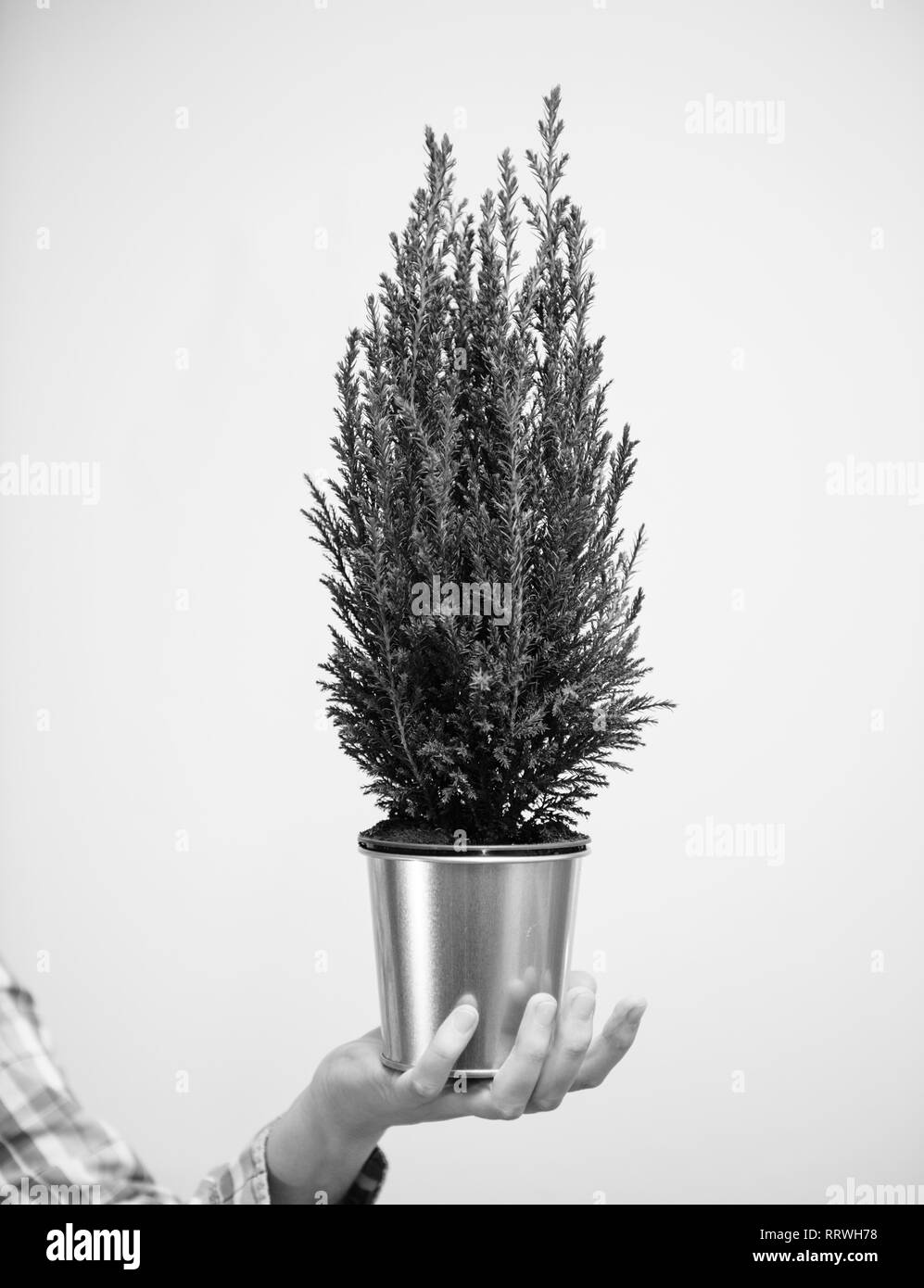 Female hand holding against white background a small fir tree win yellow golden pot - christmas preparation gift concept - vertical photo black and white - Stock Image