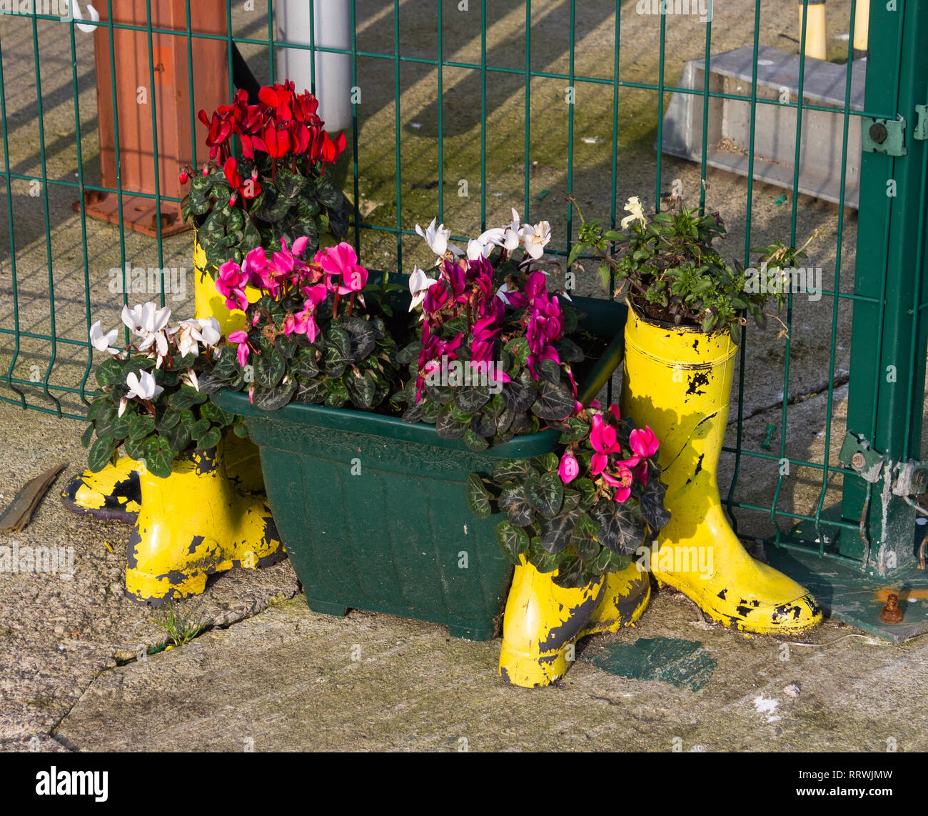 flowering cyclamens planted in box planters, yellow wellington boot planters or plant pots Stock Photo