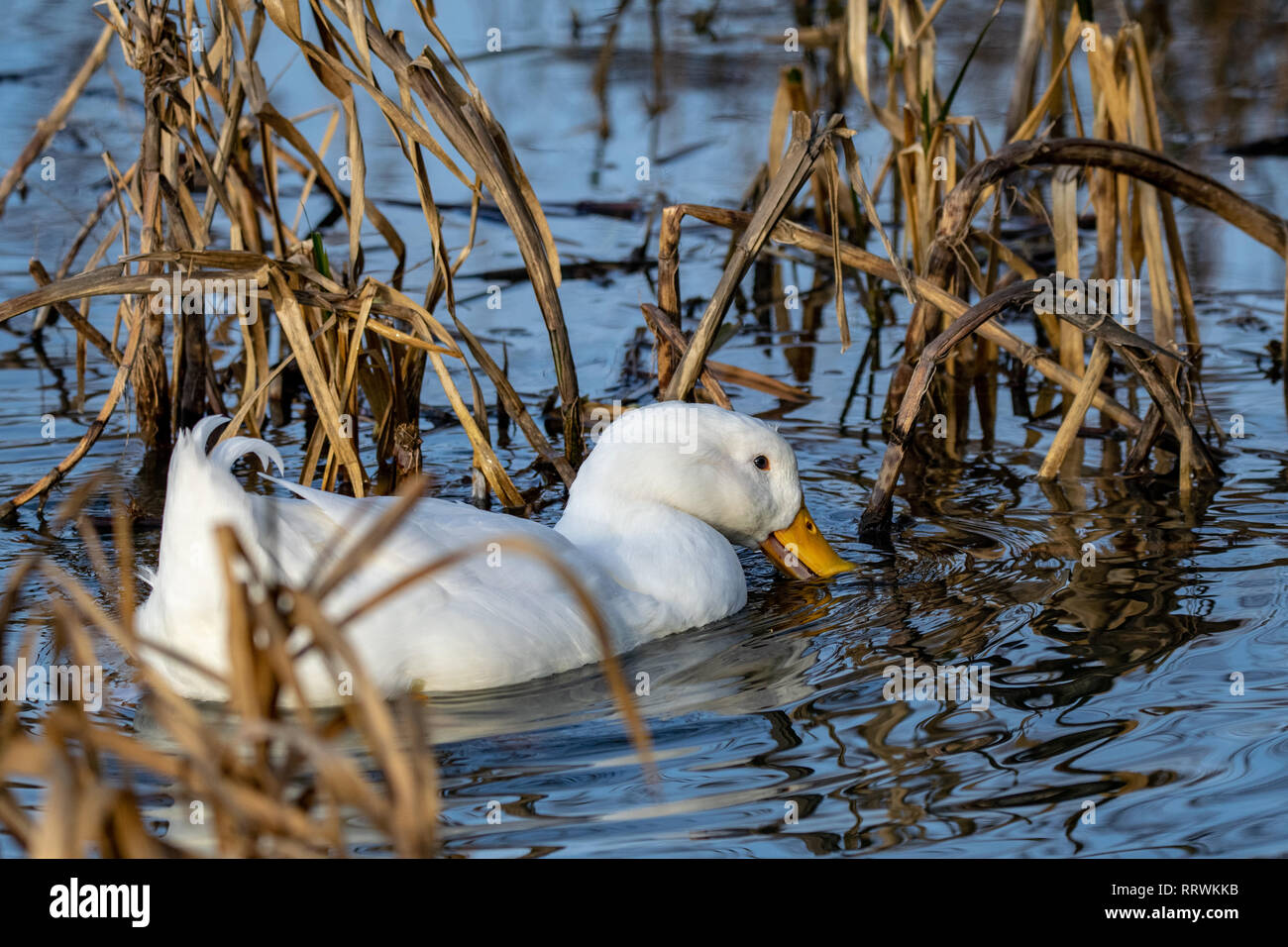 Male drake heavy white Pekin Duck (also known as Aylesbury or Long Island Duck) feeding amongst water reeds - Stock Image
