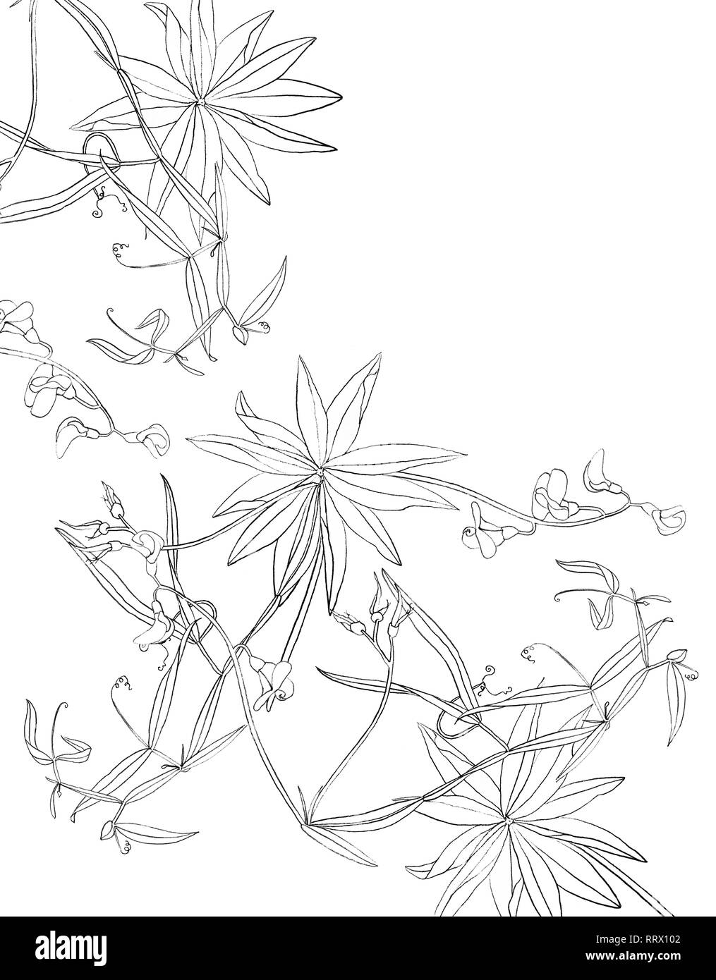 Beautiful engraving flower background isolated on white background. Floral background for design, postcards, banners. - Stock Image