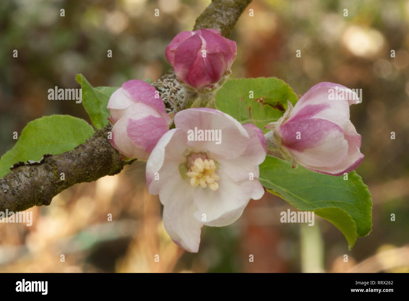 Apple pink flowers with buds ready to bloom stamens and poles - Stock Image