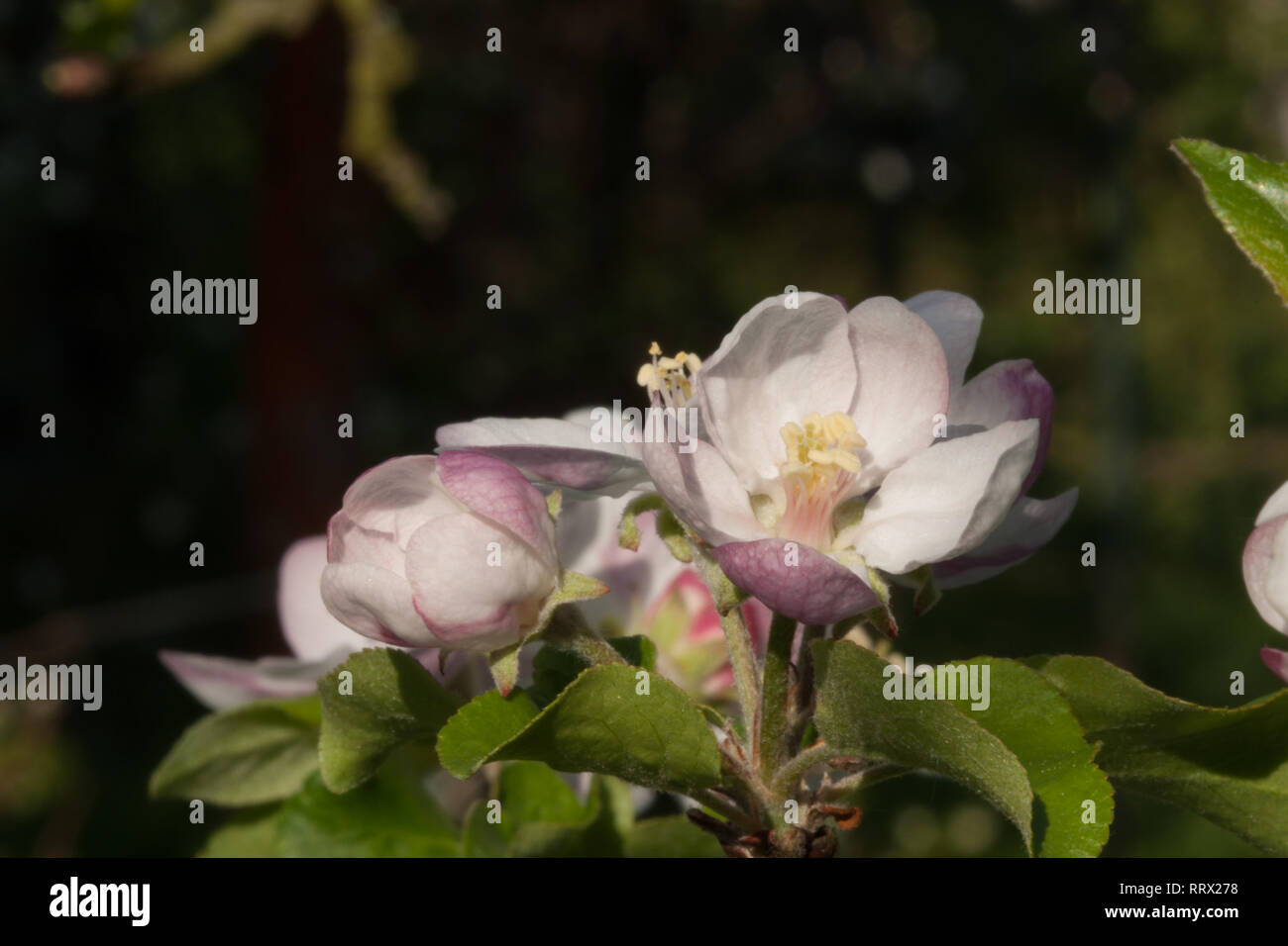 closeup view,black background,dark background,currant twig,background,black,bud,closeup,currant,dark,spring,twig,view,plant Stock Photo