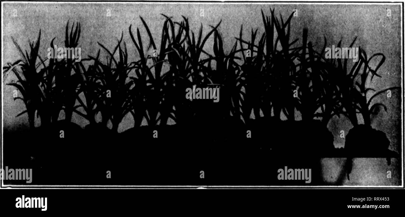 . Florists' review [microform]. Floriculture. October 31, 1912, The Florists^ Review 63 America GladiolasBnlbs Quarant««d Tru* to Nam*. Large stock. Prices right. Give us a trial. CURlRIER BULB CO. SEABKIOHT, CAL. Mention The Review ^hen you write. GROHrS CHAMPION STRAINS of Petunias, Pentstemona, Delphiniums, Shasta Daisies and Stokesia Cyanea. Send for prices to FRED QROHE, Santa Rosa, Cal. B. D. 4. Mention The Reylew when Toa write. SPLENDID SELECTION OF HOLLAND BULBS. Eight named varieties of Narcissus, best kinds, 30c to 50c per doz., $2.00 to $3.60 per 100. Postaire 15c per doz. extra. S - Stock Image
