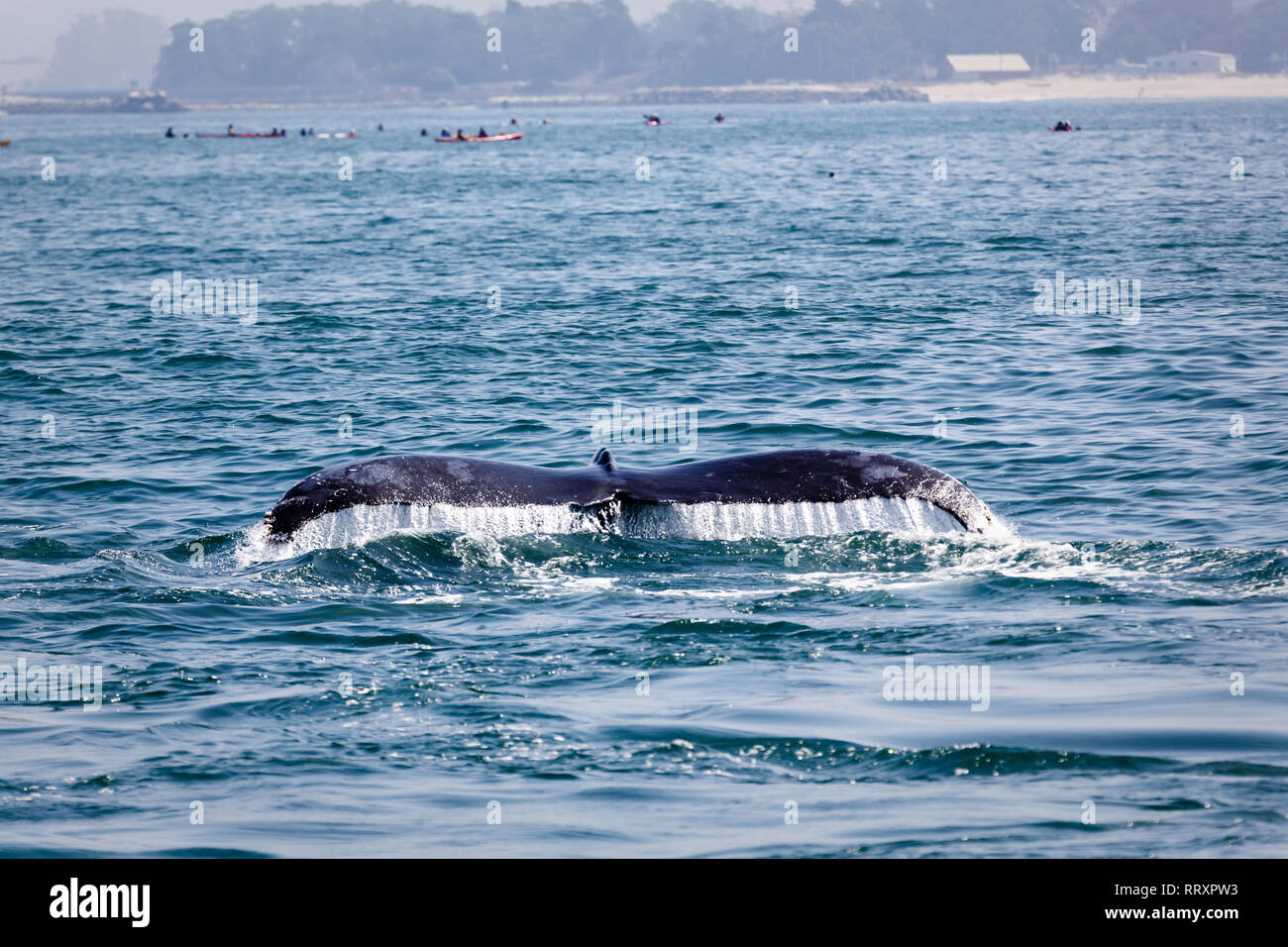Closeup view of gray whale lobtailing off the coast of San Francisco - Stock Image