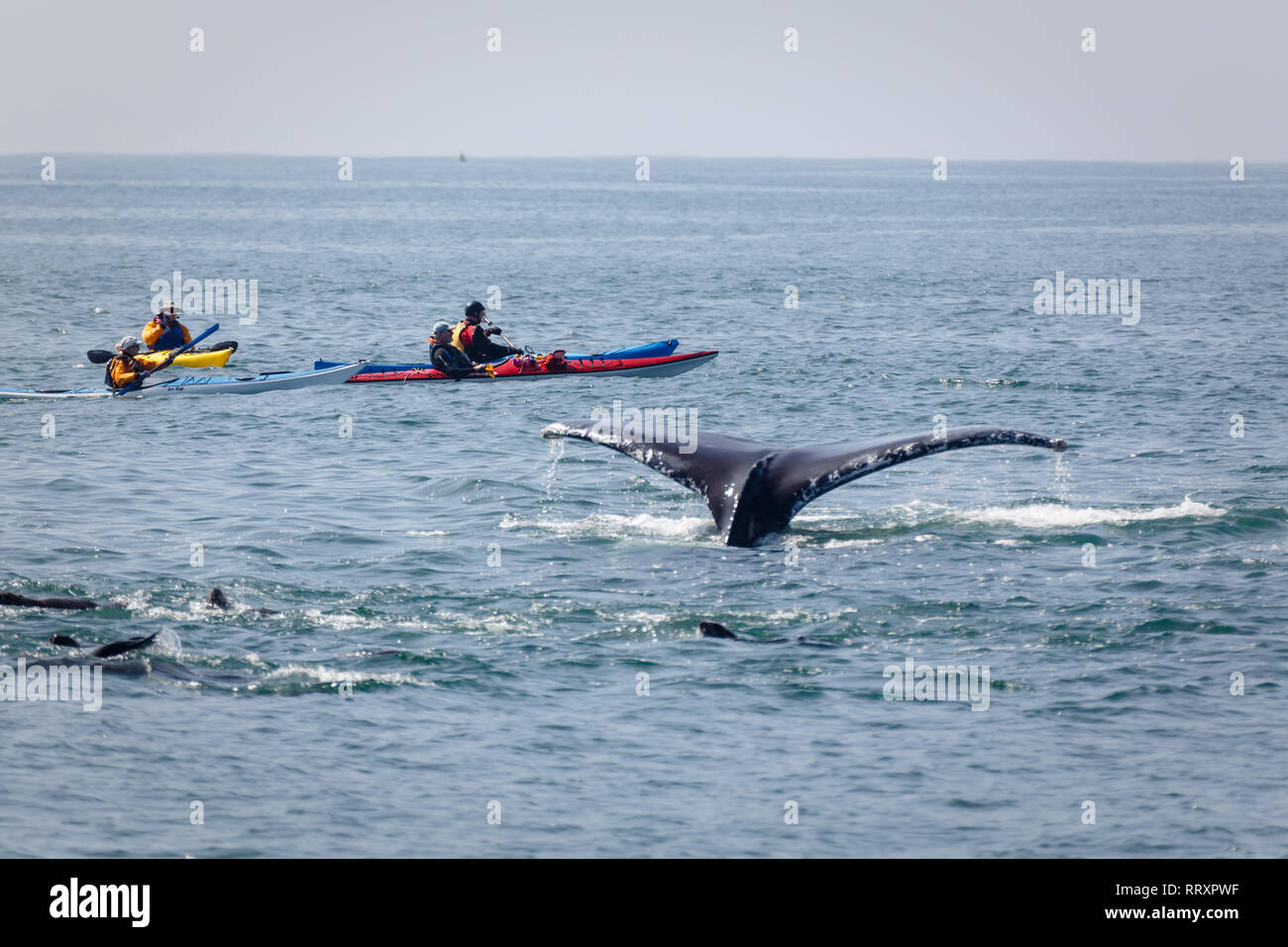 Kayakers dangerously close to lobtailing whale and group of sea lions - Stock Image