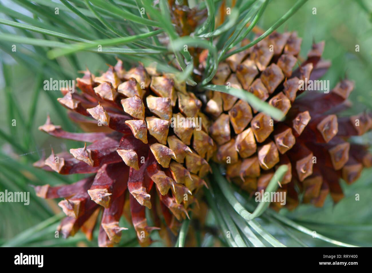 Two Ponderosa (Pinus) pine cones on the tree, - Stock Image