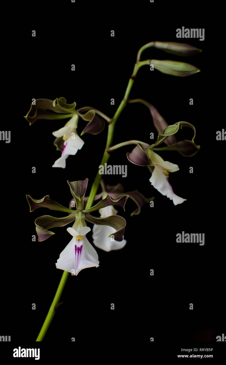 Tropical orchid known as Encyclia cordigera - Stock Image