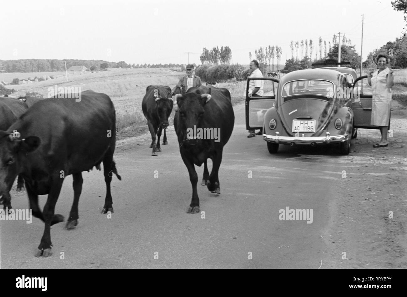 VW Beetle - VW Käfer unterwegs - Kühe auf einer Landstrasse - III - Stock Image
