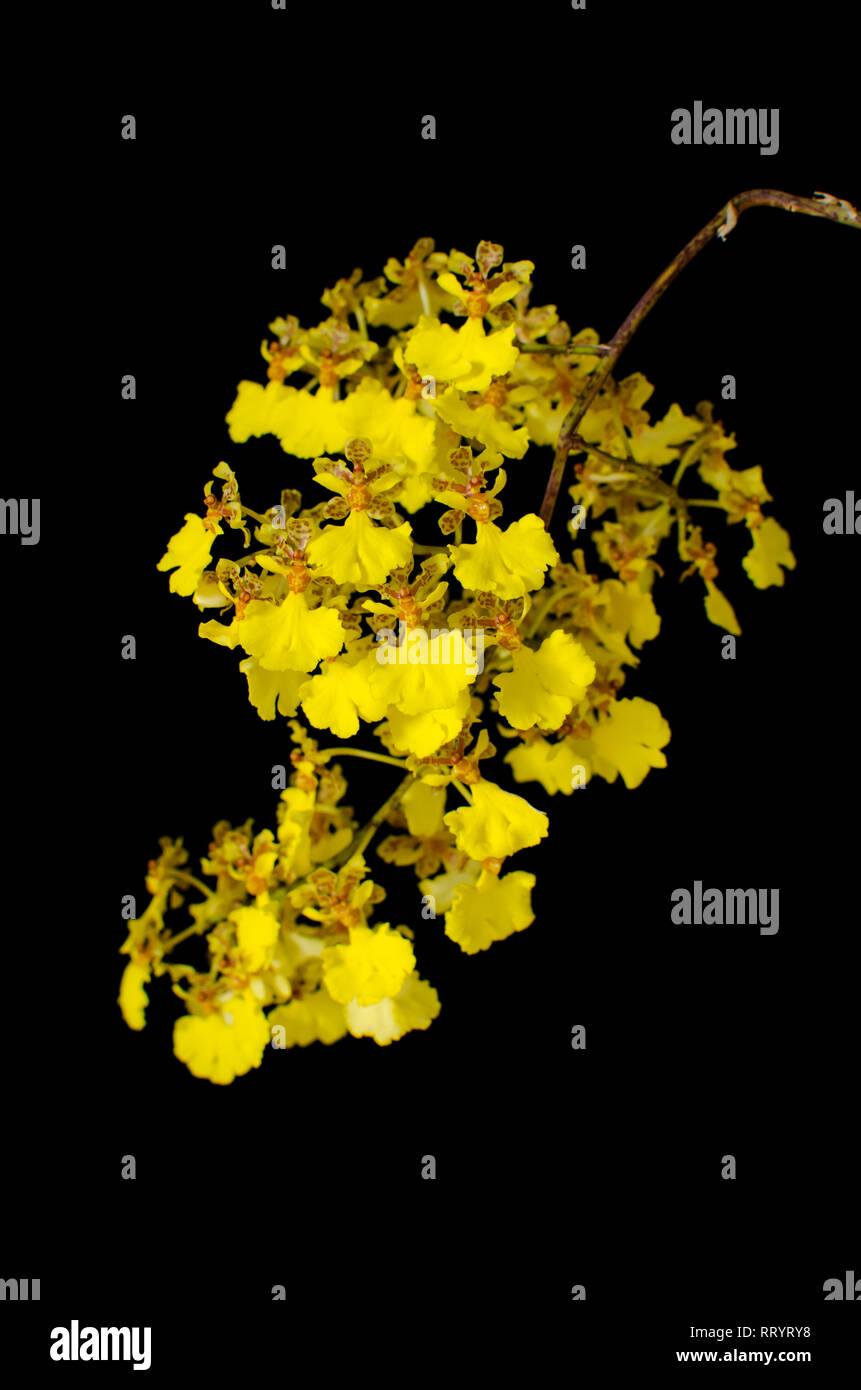 Trichocentrum nudum - Stock Image