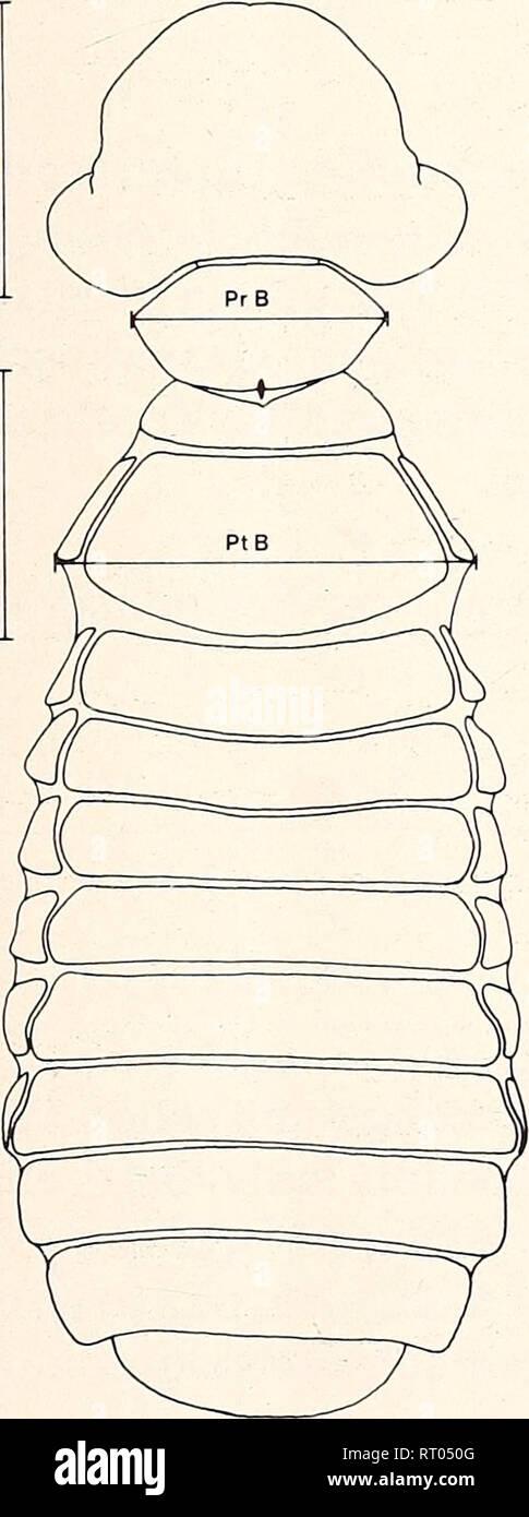 . Bonner zoologische Beiträge : Herausgeber: Zoologisches Forschungsinstitut und Museum Alexander Koenig, Bonn. Biology; Zoology. Heft 1-2 30/1979 Populationsstudien an Tierläusen. I. Myrsidea obovata 207 3.2. Myrsidea o. woltersi 11 6 und 24 Q von Corvus rhipidurus ( = A). 4. Methode Zur Feststellung der intraspezifischen Variation wurden zunächst die Körper- maße (s. Abb. 3) und die Beborstung der fünf M. o. obova/a-Serien (jede von ei- nem Wirtsindividuum) ermittelt und die Unterschiede bei den Einzelmerkmalen festgestellt. Dann wurden die Meßwerte der vier Parasiten-Stichproben (G1-G4) der - Stock Image