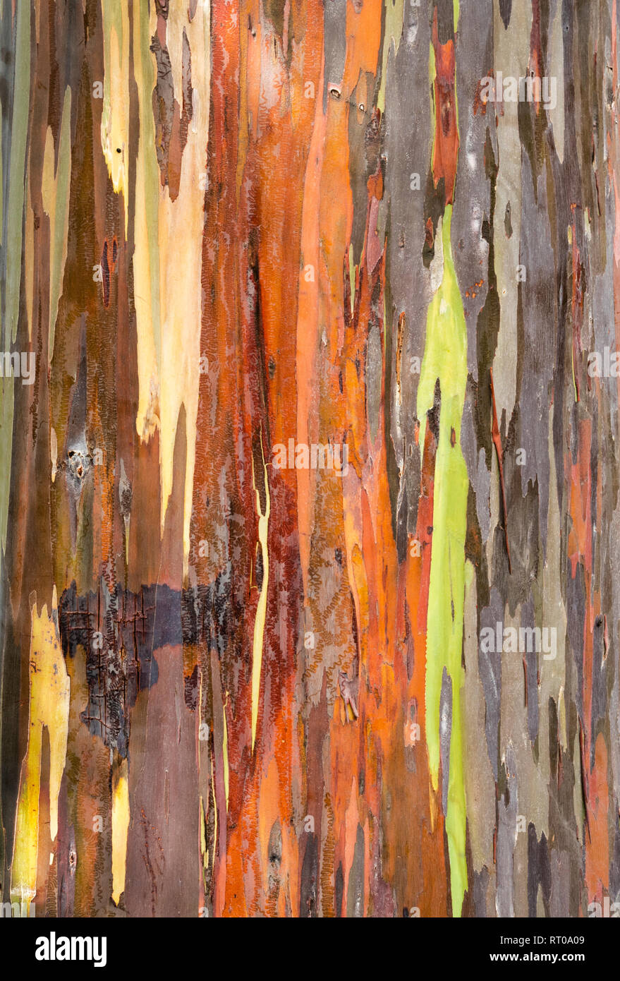 Closeup of Rainbow Eucalyptus near Kona on the Big Island, Hawaii. - Stock Image