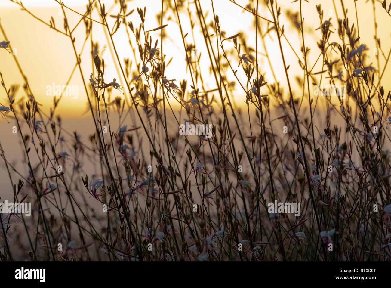 A Gaura Belleza bush silhouetted against a golden sunset. Stock Photo