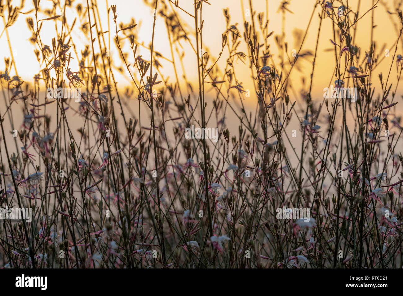 A Gaura Belleza bush silhouetted against a golden sunset. - Stock Image
