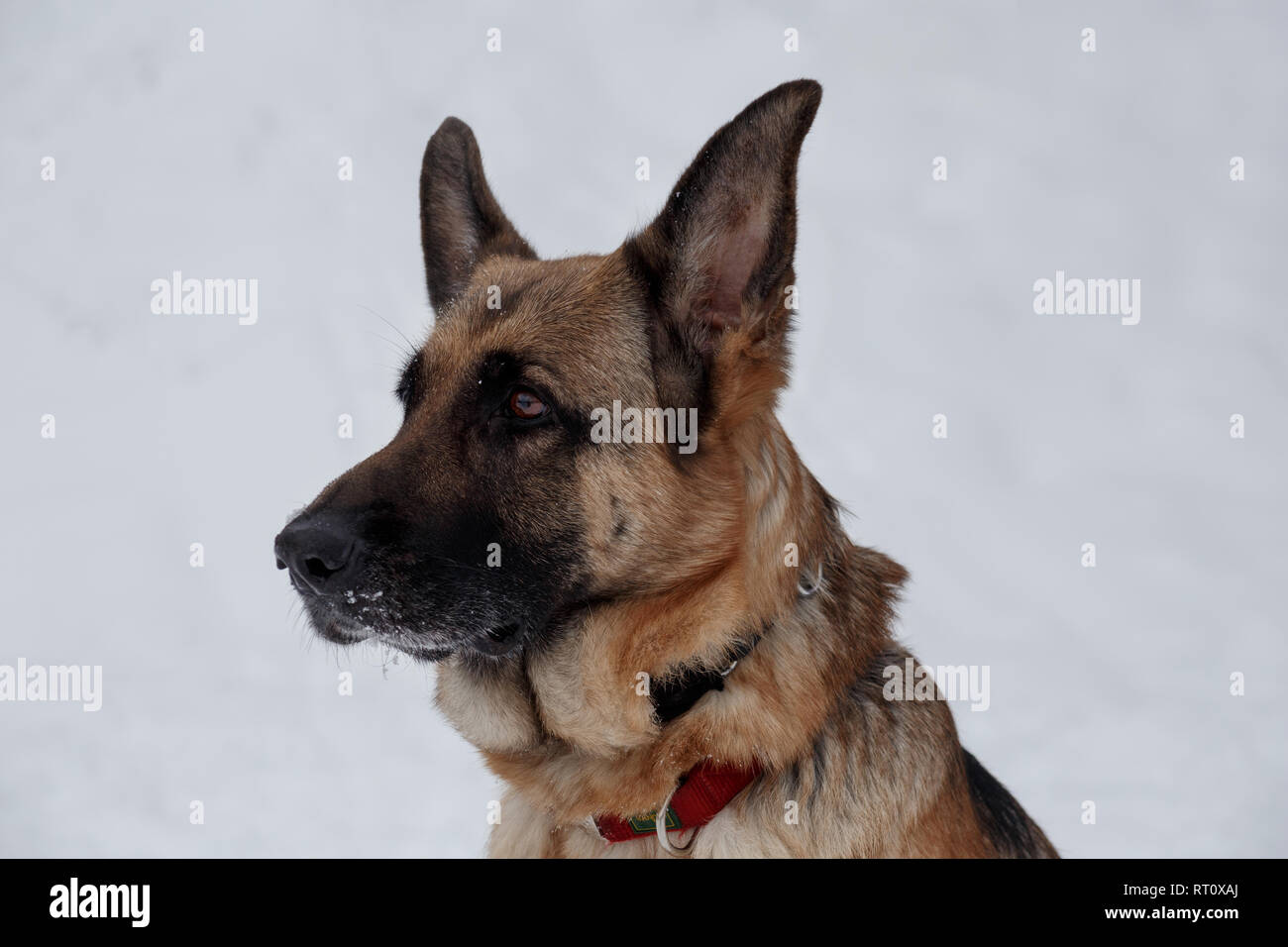 German shepherd with black mask close up. Pet animals. Purebred dog. - Stock Image